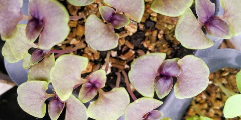 How to grow herbs (Opal Basil)