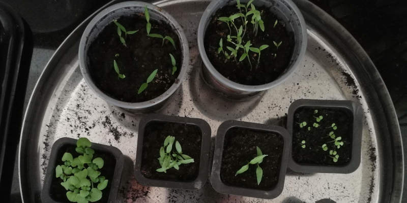 Using a water bath to water seedlings from the bottom