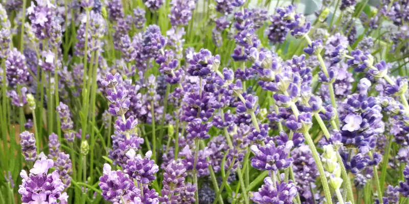 Grow, harvest, preserve and use lavender from your garden